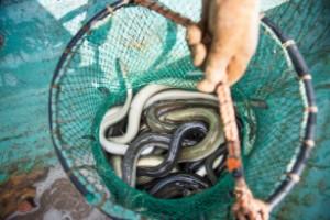 Tre månaders ålfiskestopp i vinter