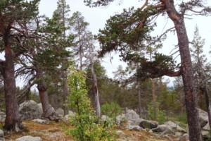 """Norran granskar miljön: Så hade en orörd skog sett ut – """"Dagens skog har extremt små likheter"""""""
