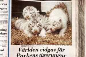 Ur arkivet: Vita tigerungar väcker uppmärksamhet