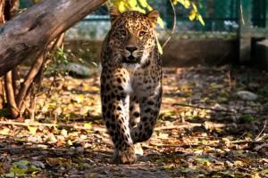 Söderköpingsbo får importera jakttrofé av en leopard