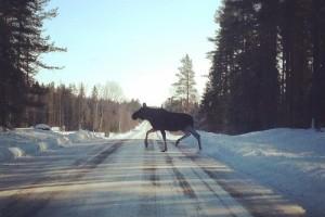"""Kraftig ökning av viltolyckor i Skellefteå kommun – polisens uppgivna ord: """"Det är de värsta veckorna någonsin"""""""