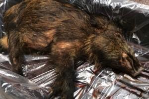 Jägare ska kunna få betalt för cesiumtestat vildsvin