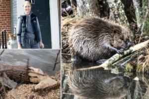 """Bäverns framfart oroar Ylva Binder: """"Otroligt effektiva djur"""""""