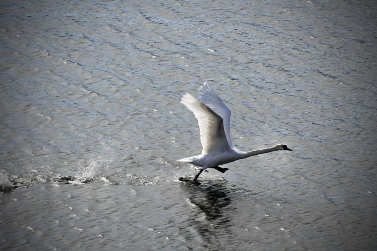 Svanar i Umeå slår rekord