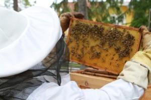Brist på bin hotar vår mat – bikupor räcker inte