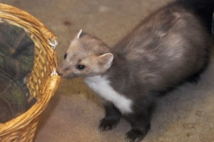 Fruktat däggdjur etablerat i Skåne