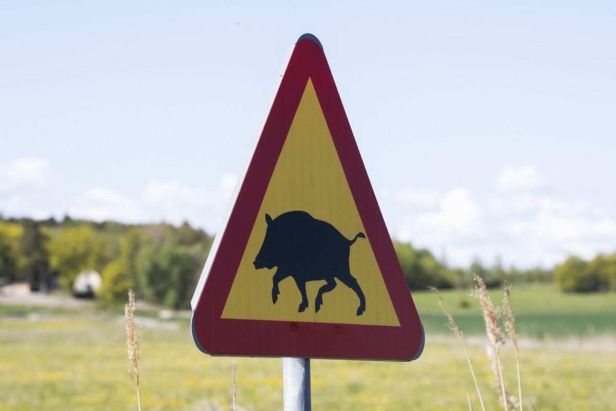 Norsk oro över Sveriges vildsvinshållning