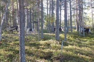 Sameby tvingas flytta renar efter jägares protester