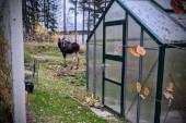 """Mystisk plingande älg utanför Luleå: Vad har fastnat i hornet? • """"Vore bra om den går att befria"""""""