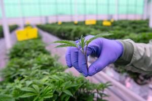 Uppsalabaserade cannabisbolaget inleder samarbete