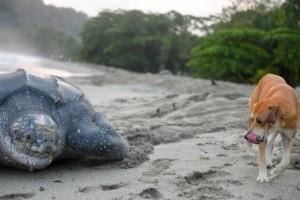 Världens största sköldpaddas ägg funna