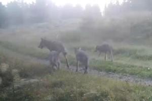 Beskedet: Fyra vargvalpar har fötts i reviret