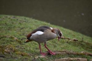 Sällsynt fågel skådad i länet - jägare på väg ut för att skjuta den