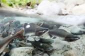 Invasiv puckellax riskerar få fäste i Sverige