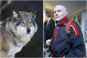 """Närgången varg runt byar i Kiruna – samebyn: """"Bekymmer"""""""
