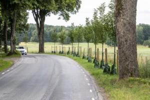 Nya lindar planterade längs vägen