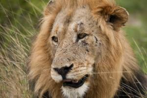 Svårt skadad efter lejonattack i Australien